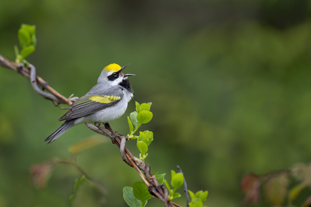 A Golden-winged Warbler sings out loudly while perched on a twisty vine with a smooth green background in soft overcast light.