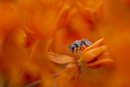 A small black bee clings to a bright orange flower surrounded by out of focus orange in soft overcast light. Stock Photo