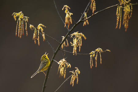 A Prairie Warbler sings loudly while perched in a branch with fresh spring growth while glowing in the morning sun.