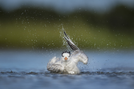 A Royal Tern twists and turns and flaps its wings like crazy as it splashes around in the shallow water taking a bath.