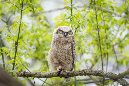 A young Great-horned Owlet sleeps on a small branch in the forest of fresh spring growth. Stock Photo