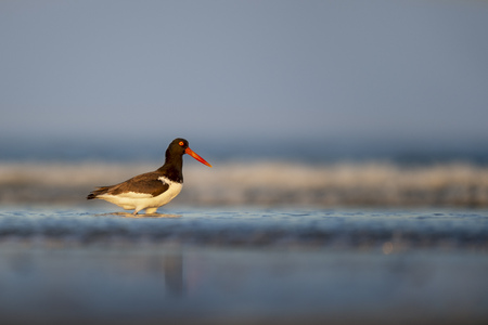 An American Oystercatcher stands in the surf in beautiful golden evening light with the blue ocean behind it.