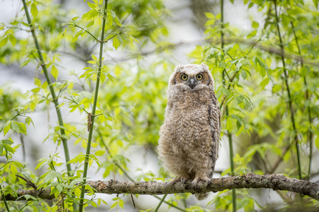 A cute Great-horned Owlet stands tall on a branch with an alert look surrounded by fresh green growth. Stock Photo