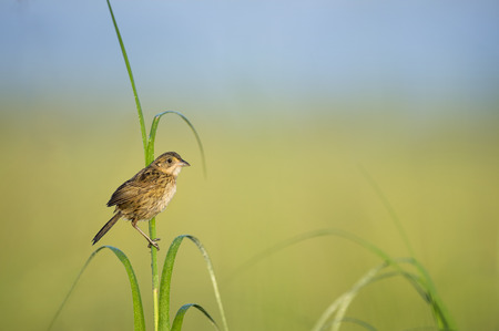 A Seaside Sparrow perches on the bright green marsh grasses in the morning sunlight with a smooth green and blue background.