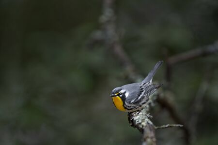 A Yellow-throated Warbler perched on a branch in a funny pose as it gets ready to take off.