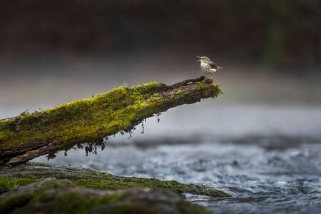 A Louisiana Waterthrush sings out from a mossy log perch with water running under it and a low hanging fog in a small stream. Stockfoto