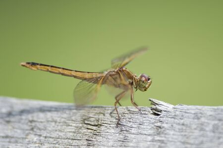 A detailed close up of a dragonfly perched on a light gray wooden fence with a smooth green background. Stockfoto