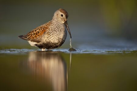 A Dunlin in breeding plumage pulls some grass from the shallow water with the golden morning sun shining on it and the green reflected water. Stockfoto
