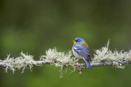 A Northern Parula perched on a branch covered in lichen with a smooth green background. 免版税图像