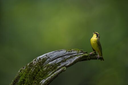 A bright yellow Kentucky Warbler sings out loud while perched on a curved log with mossy texture and a smooth green background.