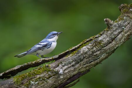 A bright blue and white Cerulean Warbler perched on a textured log in soft overcast light with a smooth green background.