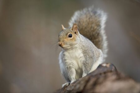 A Gray Squirrel pauses on a log and looks out alertly in soft lighting with a smooth green background. Imagens