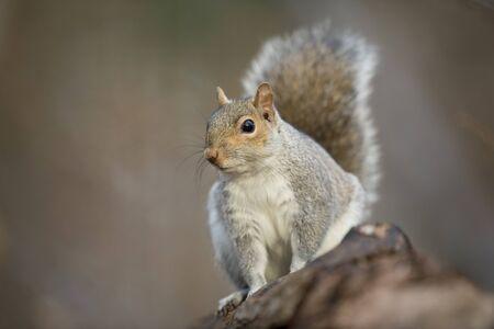 Ein graues Eichhörnchen hält auf einem Baumstamm inne und schaut aufmerksam in sanfter Beleuchtung mit einem glatten grünen Hintergrund. Standard-Bild