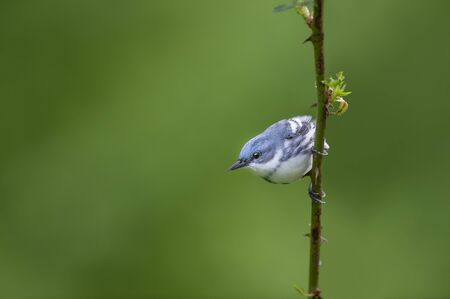 A blue and white Cerulean Warbler clings to a vertical thorny perch with a smooth green background in soft light.