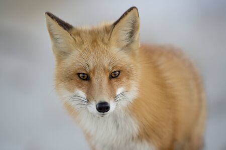 A close up portrait of a Red Fox in sfot light with a light white background and its orange fur standing out. Banco de Imagens