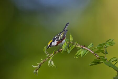 A vibrant Chestnut-sided Warbler perched on a thorny branch with a colorful background in the soft sunlight.