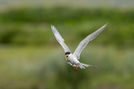 A Forsters Tern flies in front of a smooth green background while calling out loudly in soft overcast light.