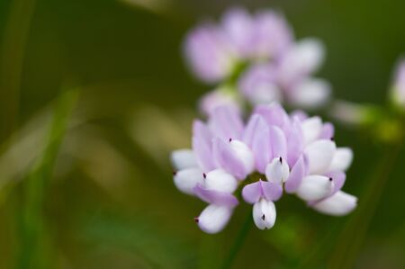 A soft purple and white flower photographed close up in soft overcast light with a green background.