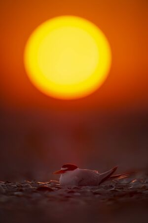 A Least Tern sits on its nest on the beach with the sun glowing yellow in the sky behind it.