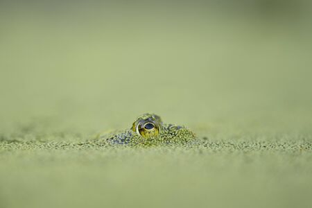 A frogs eye sticks out from the duckweed covered water with a smooth green foreground and background. Stock Photo
