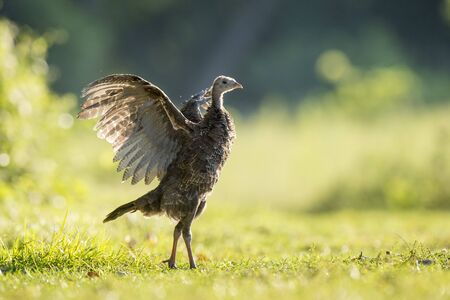 Młody dziki indyk wygina skrzydła, gdy świeci w porannym słońcu stojąc na trawiastym polu.