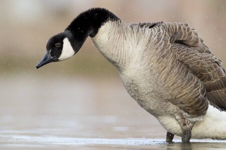 A Canada Goose shakes out its feathers after a bath and fluffs out itself in the soft sunlight with a smooth background. Фото со стока