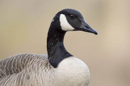 A close portrait of a Canada Goose in soft sunlight with a smooth brown background.