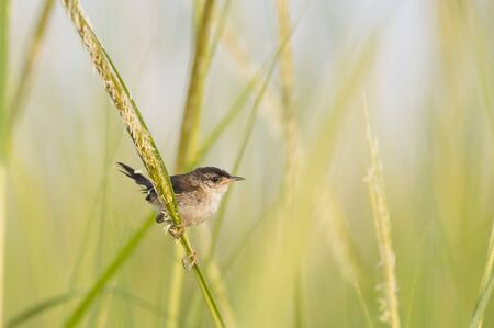 A small Marsh Wren perched on a piece of bright green marsh grasses in soft sunlight.