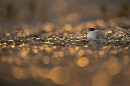 A Least Tern sits on a nest on a beach glittering in the golden morning sun.
