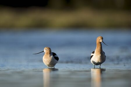 A pair of Avocets stand in the shallow water with their reflection in the early morning sunlight with bright blue water in the background.