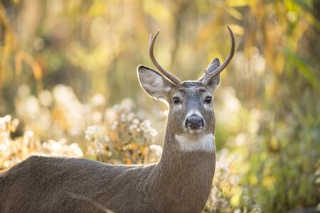 A young Whitetail Buck stands in the forest glowing in the morning sun with a bright colorful background.