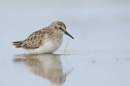 A tiny Least Sandpiper stands in shallow water with a soft reflection and a single piece of bright green grass hanging off its bill. Stok Fotoğraf