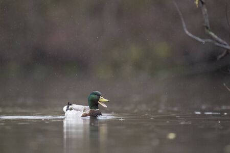 A male Mallard calls out with its beak open as it swims in the light rain with a smooth brown background.