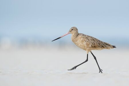 A Marbled Godwit walks quickly on white sand with a smooth blue background in soft light. Stock Photo