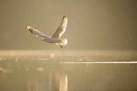 A Ring-billed Gull blasts out of the water with a splash as it glows in the early morning sun over calm water.