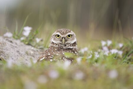A Florida Burrowing Owl peeks out from its burrow with small out of focus white flowers around it in soft overcast light. 版權商用圖片