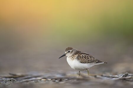 A tiny Least Sandpiper stands on the ground in soft light with a smooth green and orange background. Stok Fotoğraf