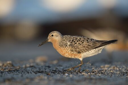 A Red Knot walks on a sandy beach in a spotlight of early morning sun