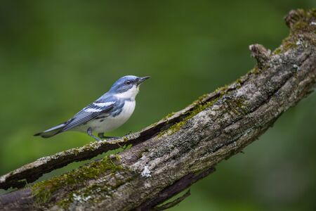 A bright blue Cerulean Warbler perched on a heavy textured log with moss and a smooth green background.