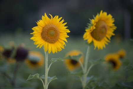 A pair of tall yellow sunflowers with small sunflowers out of focus in the background.