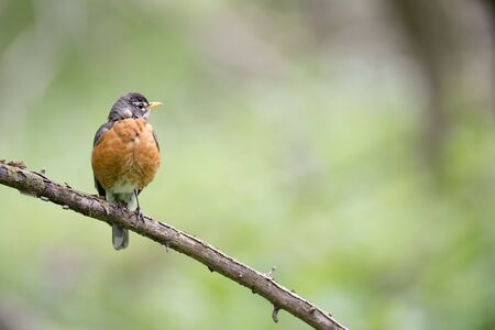 An American Robin perched on a dead branch in soft overcast light with a smooth green background.
