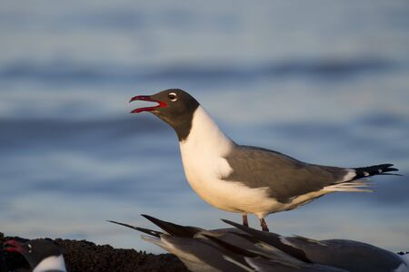 A Laughing Gull calls out loudly as the first rays of sun shine on it in the early morning with a blue water background.