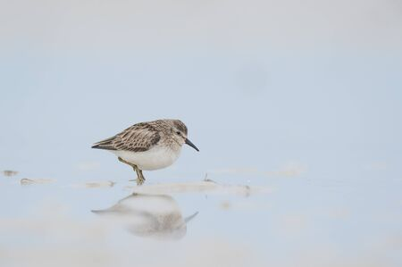 A Least Sandpiper stands in shallow wet sand with its reflection in soft light with a smooth light blue background.