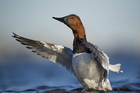 A male Canvasback drake flaps its wings in the water in the bright sun with a smooth blue background. 写真素材