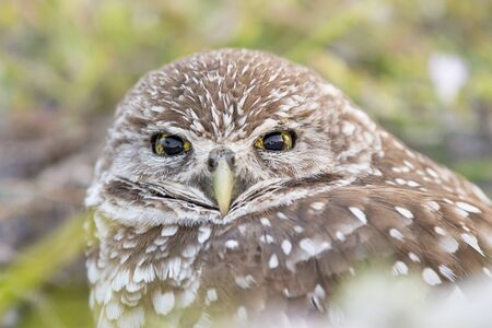 A close-up of a Florida Burrowing Owl shows the details of its yellow and brown eyes and feathers.
