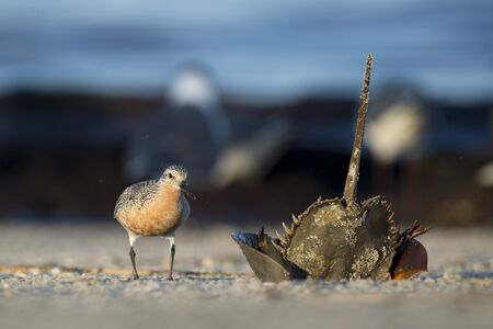 A Red Knot stands next to an upside down Horseshoe Crab with its tail sticking up in the air on a sandy beach in the morning sunlight.