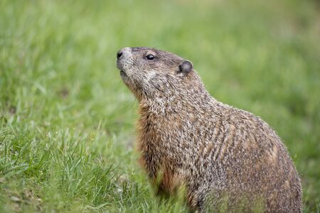 A Ground Hog lifts its head up in a curious pose in bright green grass.