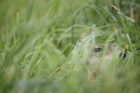 A ground hog peeks out from the grasses in the soft overcast light. Banco de Imagens