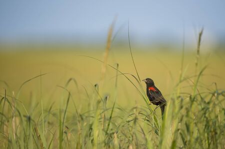 A male Red-winged Blackbird perched in the bright green marsh grasses 免版税图像