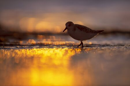 A Sanderling wades into shallow water as the the sun sets behind it with golden sunlight reflecting in the water.